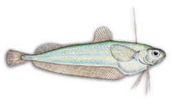 All marine species of Cod