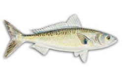 Western Australian Salmon