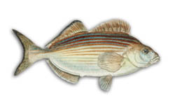 Western Striped Grunter