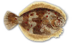 All marine species of Flounder