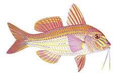 Bluespotted Goatfish